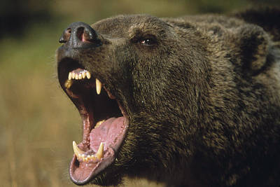 Photograph - Grizzly Bear Ursus Arctos Horribilis by Tim Fitzharris