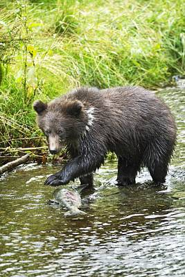 Grizzly Cub Catching Fish In Fish Creek Art Print by Richard Wear