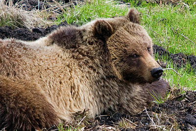 Photograph - Grizzly Glance by Steve Stuller