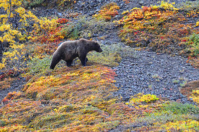 Photograph - Grizzly Hunt by Alan Lenk