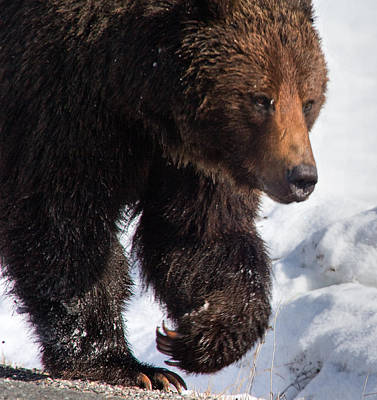 Art Print featuring the photograph Grizzly On Snow by J L Woody Wooden