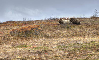 Alaska Wildlife Photograph - Grizzly Sow And Cub by Thomas Payer