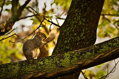 Photograph - Grooming Grey Squirrel by  Onyonet  Photo Studios