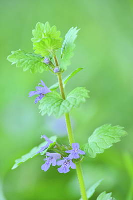 Photograph - Ground-ivy by JD Grimes