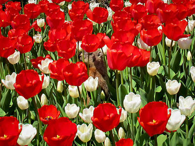 Groundhog Day - A Curious Marmot Peeking Through Luminous Red And White Spring Tulips On A Sunny Day Art Print by Chantal PhotoPix