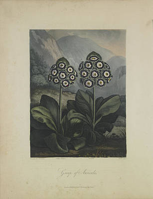 Group Of Auricula Art Print by Robert John Thornton