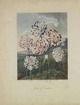 Carnation Drawing - Group Of Carnations by Robert John Thornton