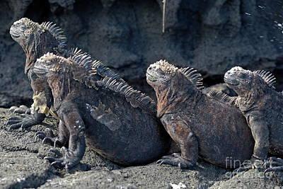 Group Of Marine Iguana Lying On Rock Art Print by Sami Sarkis