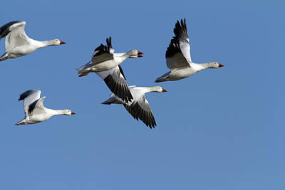Group Of Snow Geese In Flight. Chen Art Print by Philippe Henry