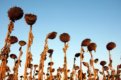Group Of Sunflowers Wilted In The Sunrise Art Print