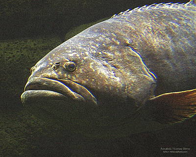 Photograph - Grouper by Randall Thomas Stone