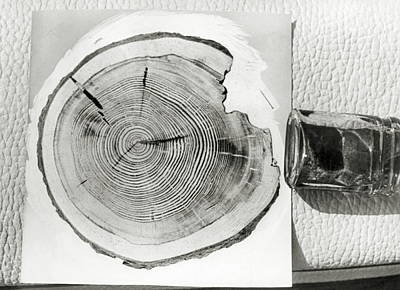 Growth Rings On A Tree From Tunguska Art Print