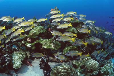 Mar2713 Photograph - Grunt School Along Coral Reef Cocos by Flip Nicklin
