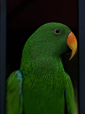 Eclectus Parrot Photograph - Guacamole The Tennis Fan by Dan McManus