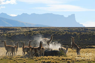 Photograph - Guanacos In Action by Camilla Brattemark