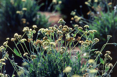 Guayule Plants Art Print by Science Source