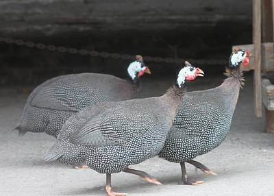 Photograph - Guinea Hens In Step by Jeanne Kay Juhos
