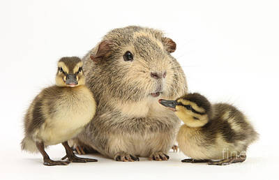 Photograph - Guinea Pig And Ducklings by Mark Taylor