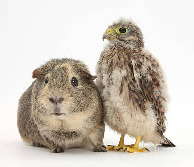 Falcon Photograph - Guinea Pig And Kestrel Chick by Mark Taylor