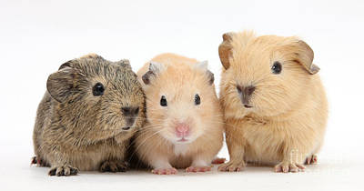 Hamster Baby Photograph - Guinea Pigs And Hamster by Mark Taylor