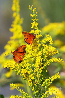 Photograph - Gulf Fritilaries On Golden Rod by Barbara Bowen