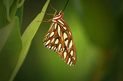 Photograph - Gulf Fritillary by David Weeks