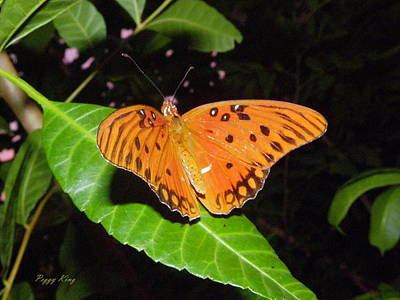 Photograph - Gulf Fritillary by Peggy King