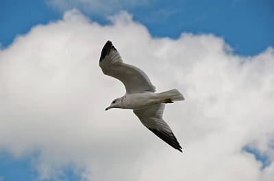Photograph - Gull 2400 by Guy Whiteley