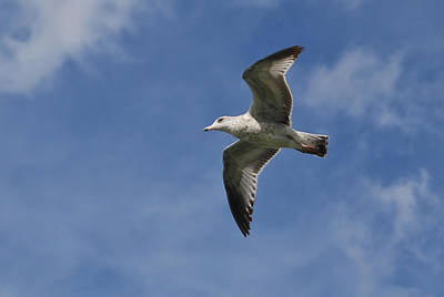 Photograph - Gull 8088 by Guy Whiteley