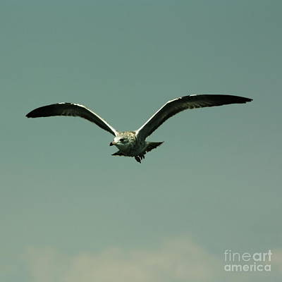 Flying Seagull Photograph - Gull In Flight 2 by Marjorie Imbeau