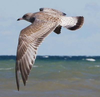 Photograph - Gull In Flight by Peggy King
