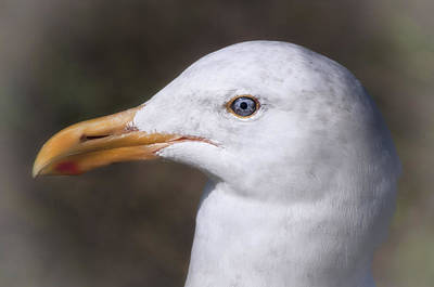 Kim Fearheiley Photography Royalty Free Images - Gull Royalty-Free Image by Mary Lane