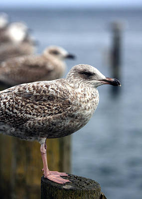 Gulls Art Print by Falko Follert