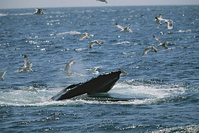 Flying Whale Photograph - Gulls Fly Over The Open Mouth by Tim Laman