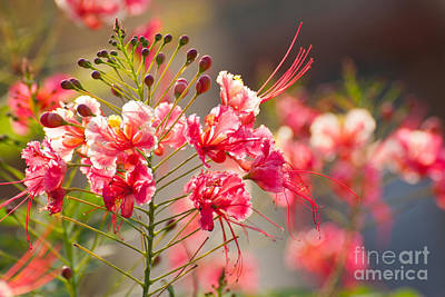 Gulmohar Photograph - Gulmohar Or The Flame Tree Flowers by Jantima  Cha