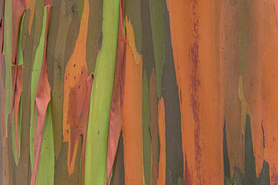 Photograph - Gum Tree Eucalyptus Sp Bark Detail by Ingo Arndt