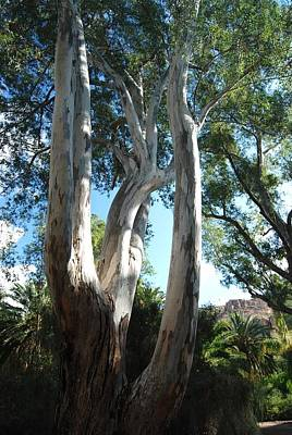 Photograph - Gum Trees by Cheryl Fecht