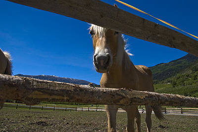 Haflinger Horse Looks Through A Fence Art Print by Todd Gipstein