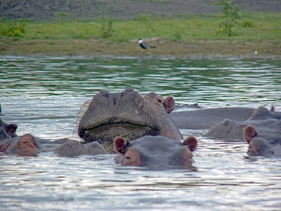 Photograph - Hairy Hippo by Tony Murtagh