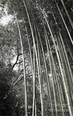 Photograph - Hakone Bamboo 1 by Ellen Cotton