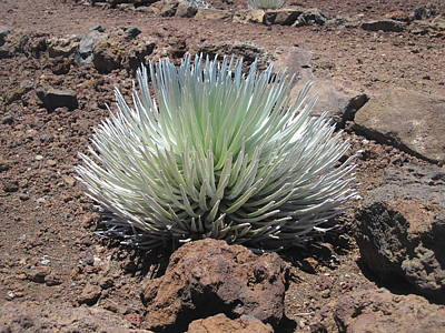 Photograph - Haleakala Silversword by Marilyn Wilson