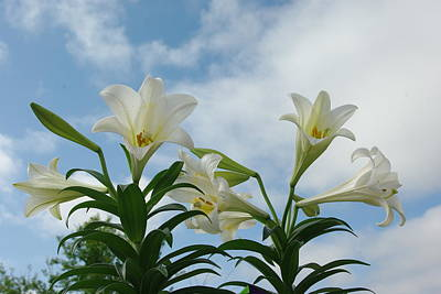 Photograph - Hallelujah Lilies by Robyn Stacey