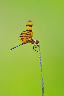 Photograph - Halloween Pennant Dragonfly by Alan Lenk