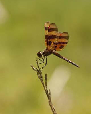 Celithemis Eponina Photograph - Halloween Pennant Dragonfly Celithemis Eponina by Kathy Clark