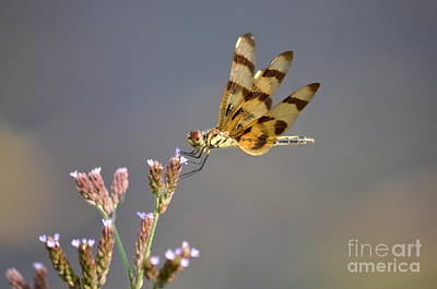 Celithemis Eponina Photograph - Halloween Pennant Dragonfly by Kathy Gibbons