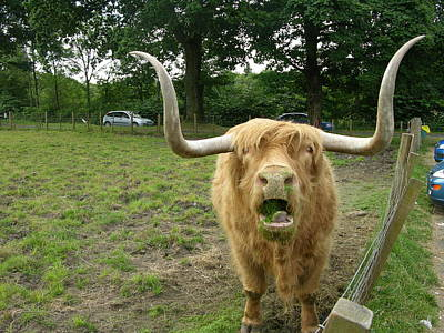 Photograph - Hamish Highland Bull by Keith Stokes