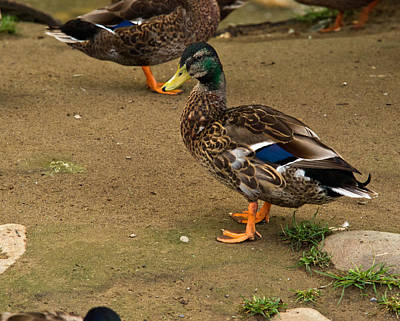 Outerspace Patenets Rights Managed Images - Handsome Mallard Royalty-Free Image by Douglas Barnett
