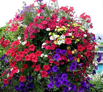 Hanging Baskets Photograph - Hanging Basket by Will Borden