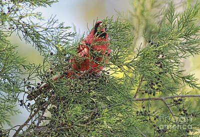 Cardinals. Wildlife. Nature Photograph - Hanging In The Cedar by Deborah Benoit