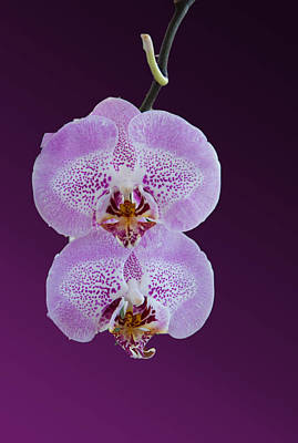 Hanging Orchids Art Print by Matthew Bamberg